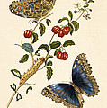 Cherry Branch With Achilles Morpho by Getty Research Institute