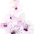 Cherry Cascade by Rebecca Cozart