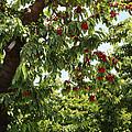 Cherry Orchard  by Carol Groenen