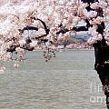Cherry Tree And The Potomac by Mike Nellums