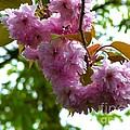 Cherry Tree Blossom by Joan-Violet Stretch