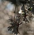 Cherry Tree Blossom Macro by Kenny Glotfelty