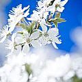 Cherry Tree Blossom  by Raimond Klavins