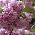 Cherry Tree Blossoms by Christiane Schulze Art And Photography