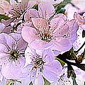 Cherry Tree Blossoms by Dora Sofia Caputo Photographic Design and Fine Art
