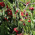 Cherry Tree by Carol Groenen