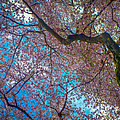 Cherry Tree by Roger Mullenhour