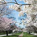 Cherry Trees by Stacy Abbott