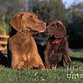 Chesapeake Bay Retrievers by Rolf Kopfle