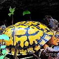 Chesapeake Box Turtle by Joshua Bales