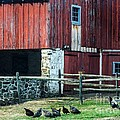 Chester County Chickens by Judy Wolinsky