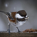 Chestnut Back Chickadee In Winter by Jean Noren
