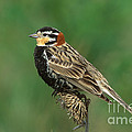 Chestnut-collared Longspur by Anthony Mercieca