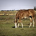 Chestnut In The Pasture by Fran Gallogly