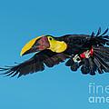 Chestnut-mandibled Toucan Flying by Anthony Mercieca