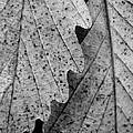 Chestnut Oak Leaves by Julie Grandfield