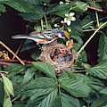 Chestnut-sided Warbler At Nest by G Ronald Austing