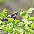 Chestnut Sided Warbler by Jan Killian