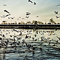Chicago Seagulls At Navy Pier by Evie Carrier