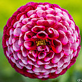 Chick A Dee Dahlia by Joan Wallner