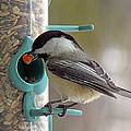 Chickadee And A Big Nut by Michael Johnk