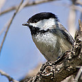 Chickadee At Carson Nature Center by Stephen  Johnson