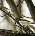 Chickadee by Brad Marzolf Photography