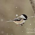 Chickadee In The Snow by Cheryl Baxter