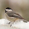Chickadee In The Snow by Kerri Farley