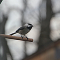 Chickadee - Keeping Watch by Ericamaxine Price