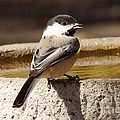 Chickadee by Lori Tordsen