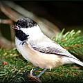 Chickadee by Michaela Preston