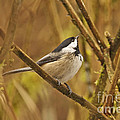 Chickadee On Alert by Sharon Talson