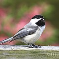 Chickadee Song by Deborah Benoit
