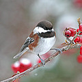Chickadee With Red Berries In Falling Snow by Peggy Collins