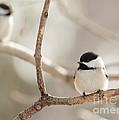 Chickadees by Cheryl Baxter