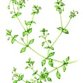 Chickweed (stellaria Media) by Lizzie Harper/science Photo Library