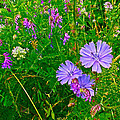 Chicory And Purple Vetch Along Rivier Du Nord Trail In Laurentians-quebec by Ruth Hager