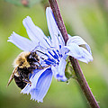Chicory Bee by Bill Pevlor