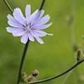 Chicory Flower by Jeanne White