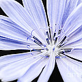 Chicory Flower Macro by Elena Elisseeva