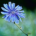 Chicory by Nikolyn McDonald