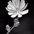 Chicory Wildflower by Sharon Woerner