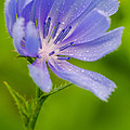 Chicory With Morning Dew by Anthony Heflin