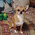 Chihuahua Cutie by Diane Grindol