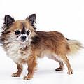 Chihuahua Dog by John Daniels
