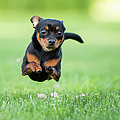 Chihuahua Dog Running by Purple Collar Pet Photography