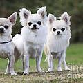 Chihuahua Dogs by John Daniels