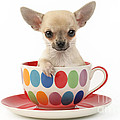 Chihuahua In Cup Dp684 by Greg Cuddiford