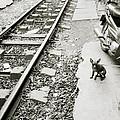 Chihuahua In Hanoi by Shaun Higson